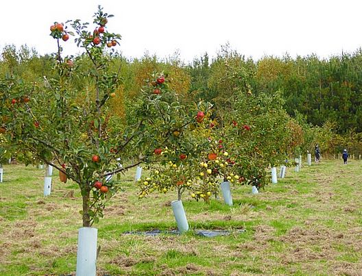 Report from Fred Izzett    Come and join the celebrations of the apple harvest at the forthcoming Apple   Weekend at Gorse Hill Nature Reserve on Saturday 7th and Sunday 8  th October.    Tours of the orchard will provide a focus for visitors to see over 100 apple trees.   Demonstrations of apple...