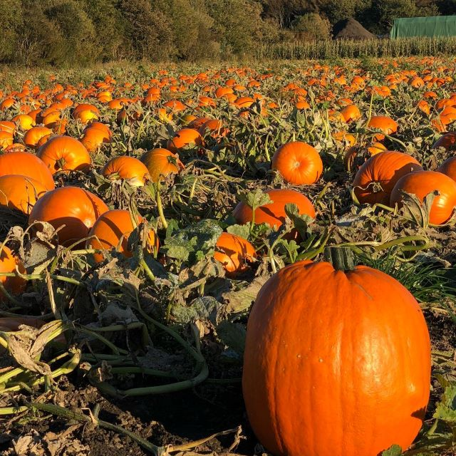 Name:  sandgrounder-pumpkin 1[61965].jpeg Views: 0 Size:  136.2 KB