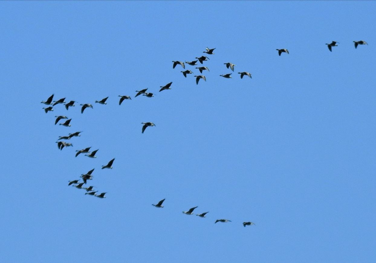 Name:  sefton-geese.JPG Views: 0 Size:  72.3 KB