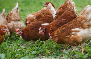 Name:  s300_Chicken_photo.png Views: 0 Size:  132.2 KB