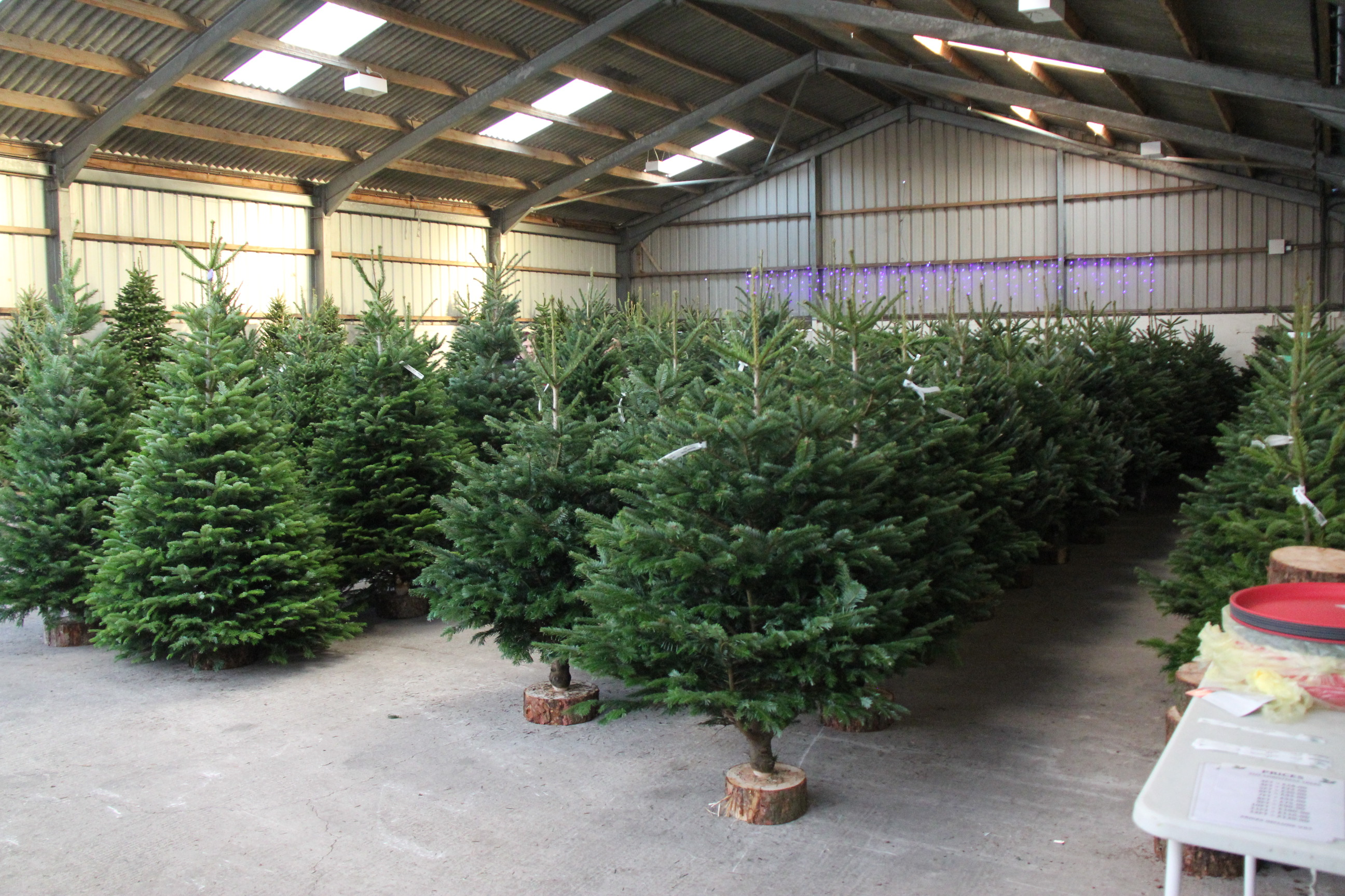 Massams Supplies at Shirdley Hill are the largest supplier of Christmas trees in the area, and literally 000's of trees will ship from there during December.    This year's Christmas Barn has an amazing selection of quality trees, including Nordman Fir, Fraser Fir, Norway Spruce, even Living Trees....